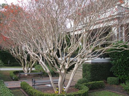 Well Loved And Only Very Lightly Carefully Pruned Crepe Crape Myrtles Lagerstroemia Indica In Charleston Nc Gorg Inside Plants Trees To Plant Crape Myrtle