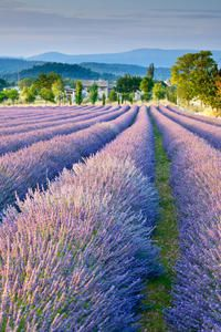 Photo of Small Group Provence and Lavender Museum Day Trip from Avignon