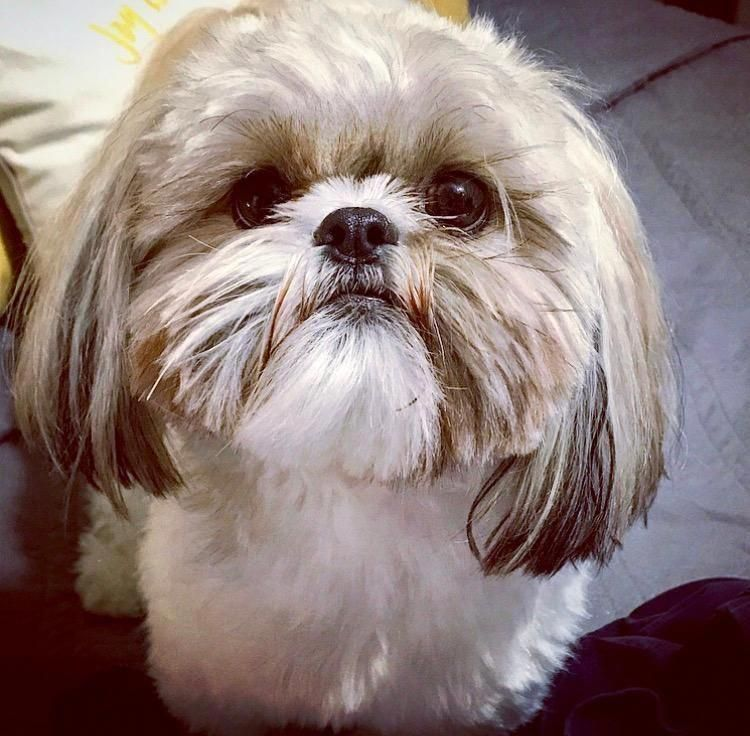 Find Out More On Energetic Shih Tzu Puppy Size Shihtzunation
