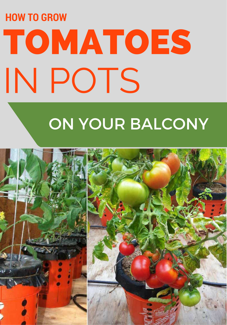 How To Grow Tomatoes In Pots On Your Balcony 640 x 480