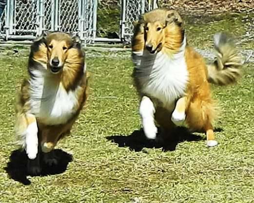 Happy Collies - Love Collies