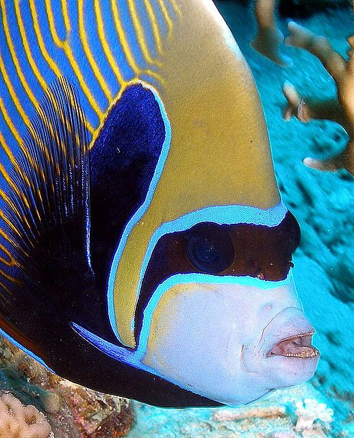 Emperor angelfish