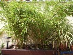 Bambus Schneiden Wann Ist Es Gunstig Wie Geht Man Vor Garten