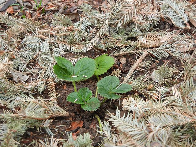 можно ли мульчировать лук скошенной травой