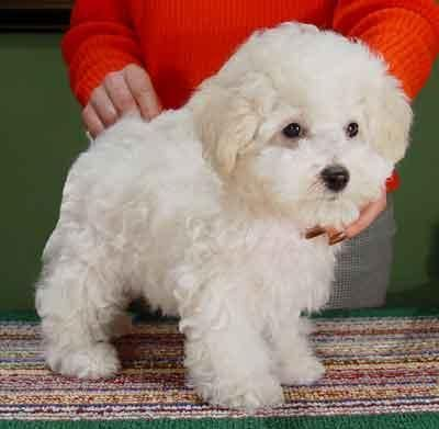Bolognese Pets Baby Animals Bichon Dog