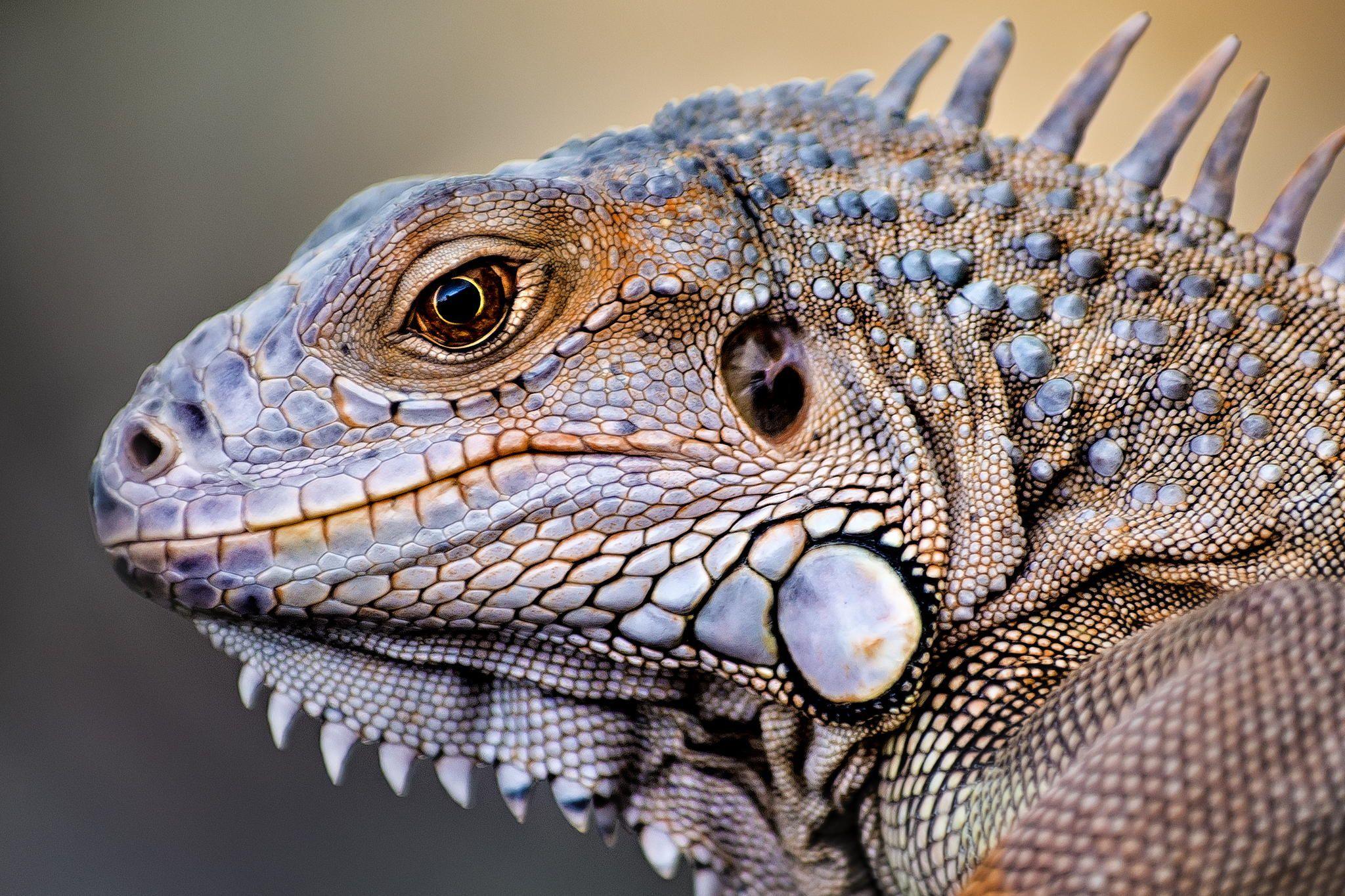 Iguana Is A Genus Of Herbivorous Lizards Native To