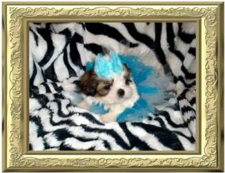I M A Tiny Teacup Shih Tzu Puppy For Sale My Coat Is Colored Red And White With Perfect Show Markings On My F Shih Tzu Puppy Puppies For Sale Teacup Shih