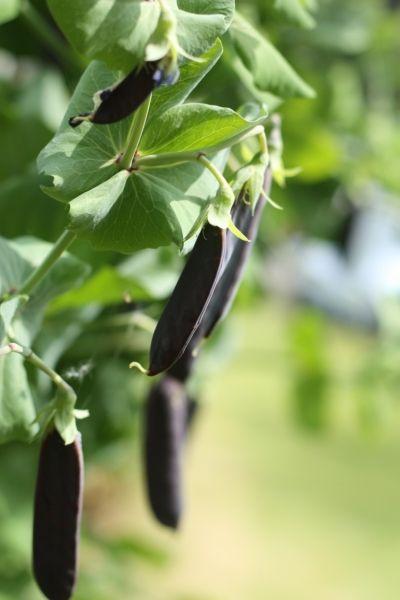 Mangetout Blauwschokker Google Search Garden Seeds Garden Edible Garden