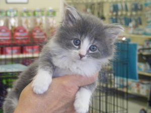 Adopt Thistle On Kitten Adoption Grey And White Cat Cute Animals