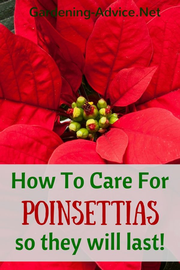 Poinsettia Care Tips For Growing Poinsettias Poinsettia Plant