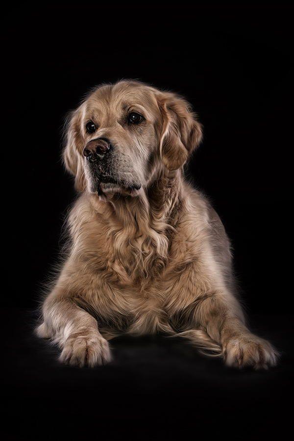 Photograph Sweet Golden By Danny Block Golden Retriever Labrador
