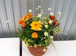 マリーゴールドで寄せ植え , 植物と風