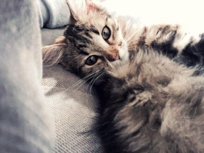 Lazy Tuesday #kitten #yummypets #turkish #angora