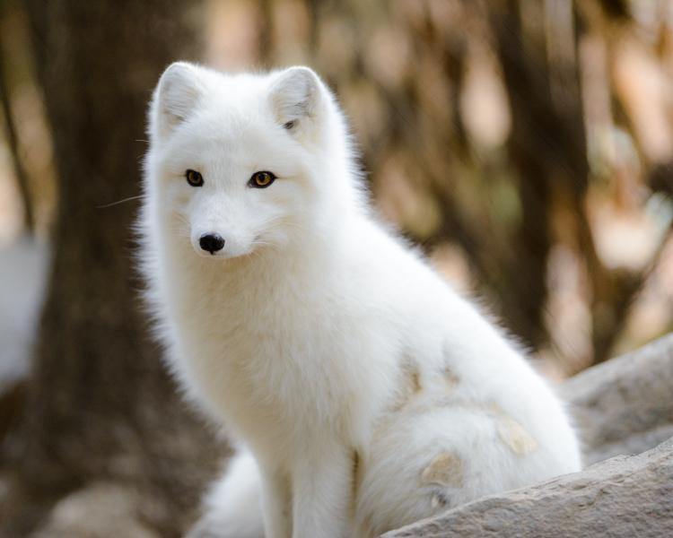 Arctic Fox Facts, Diet, Habitat & Pictures on Animalia