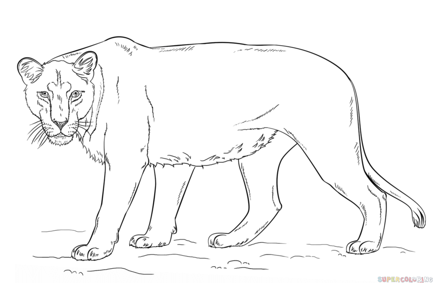 How to draw a lioness step by step