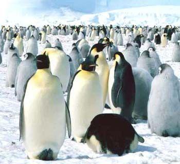 Pinguinos Animales En Peligro De Extincion Especies En Peligro De Extinción En Peligro De Extincion