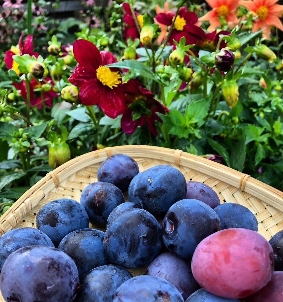 Late summer colors in garden- plums for evening snack