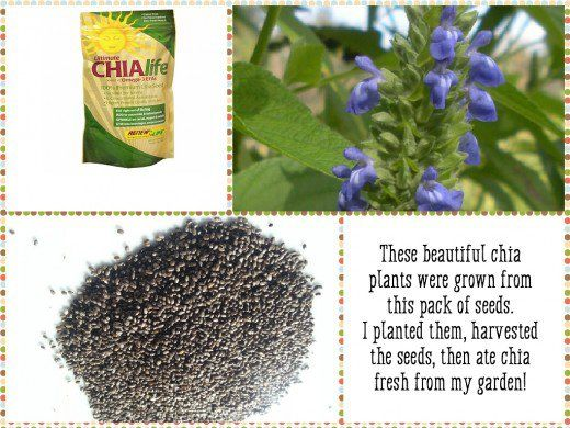 How I Grow and Harvest Organic Chia Seeds   Plants, Seeds and Gardens