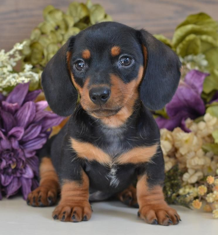 Contact Down Home Dachshunds For Mini Dachshund Puppies And