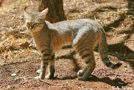 African Wild Cat African Wild Cat Wild Cat Species Small Wild Cats