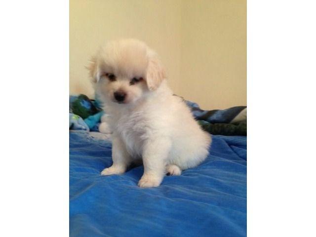 Very Cute Pomeranian Mix Shih Tzu Puppy Needs Master Cute Pomeranian Shih Tzu Puppy Pomeranian Mix