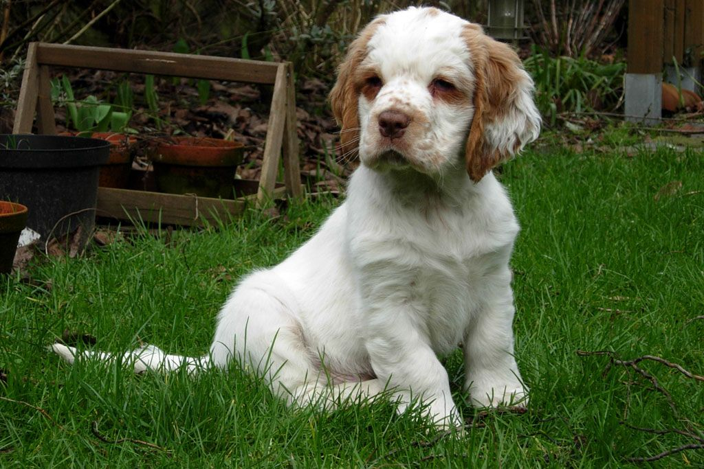 Clumber Spaniel Puppy Clumber Spaniel Dog Breeds Cute Dogs