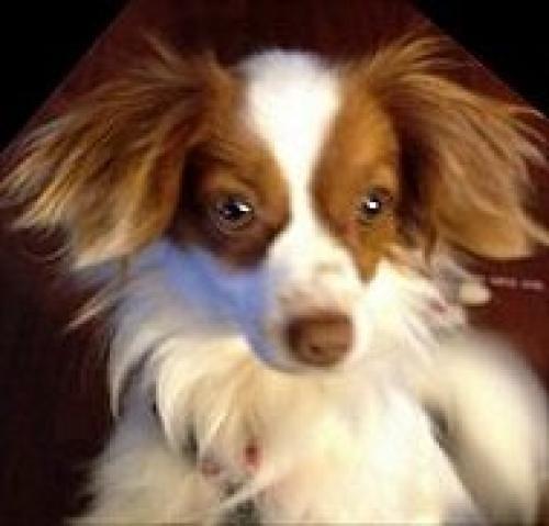 Adopt Mason On Papillon Dog Dogs Australian Cattle Dog