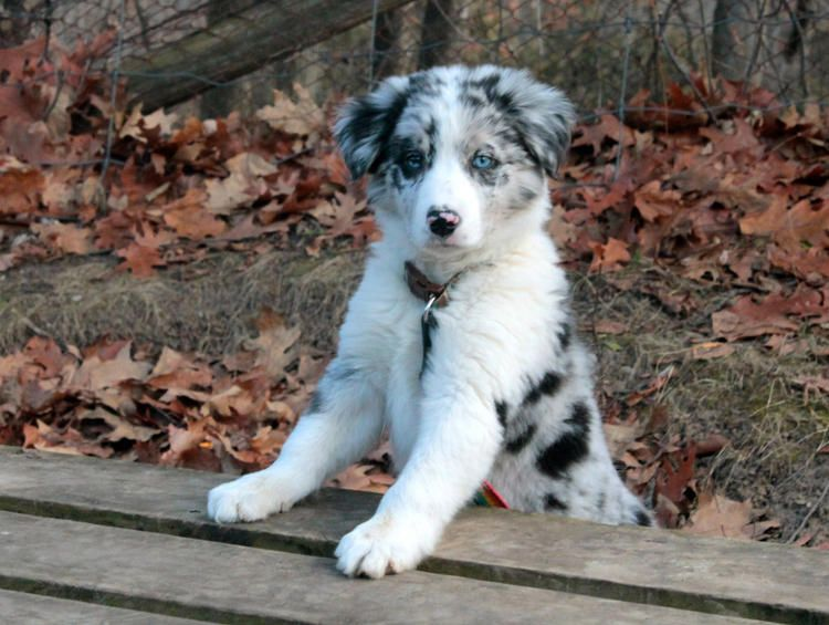 Seven the Border Collie Chipper Collies Pinterest