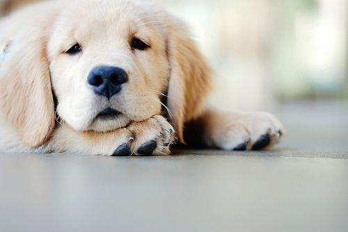 Adorable Golden Retriever Puppies Cute Animals Animals