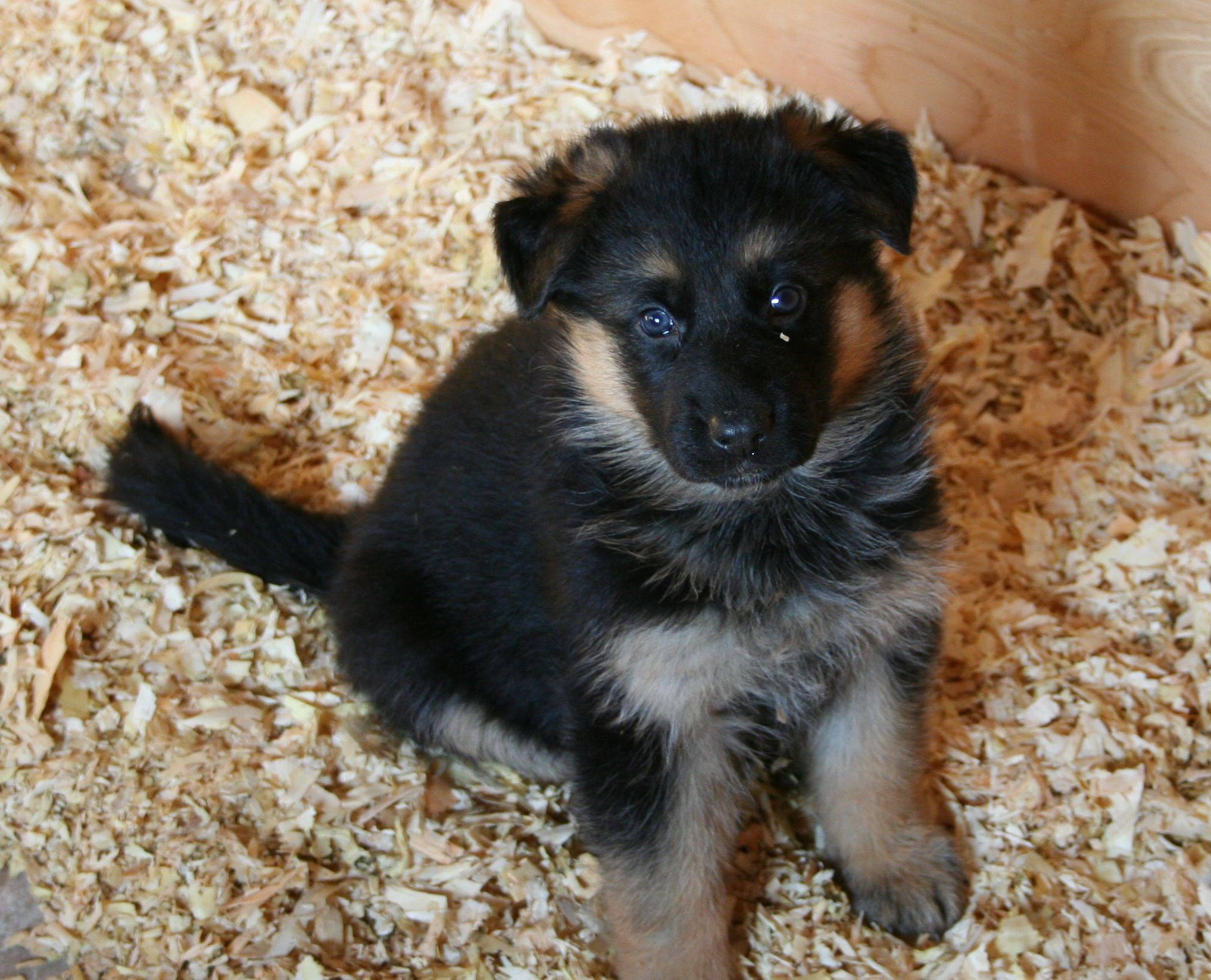 German shepherd puppies for adoption california