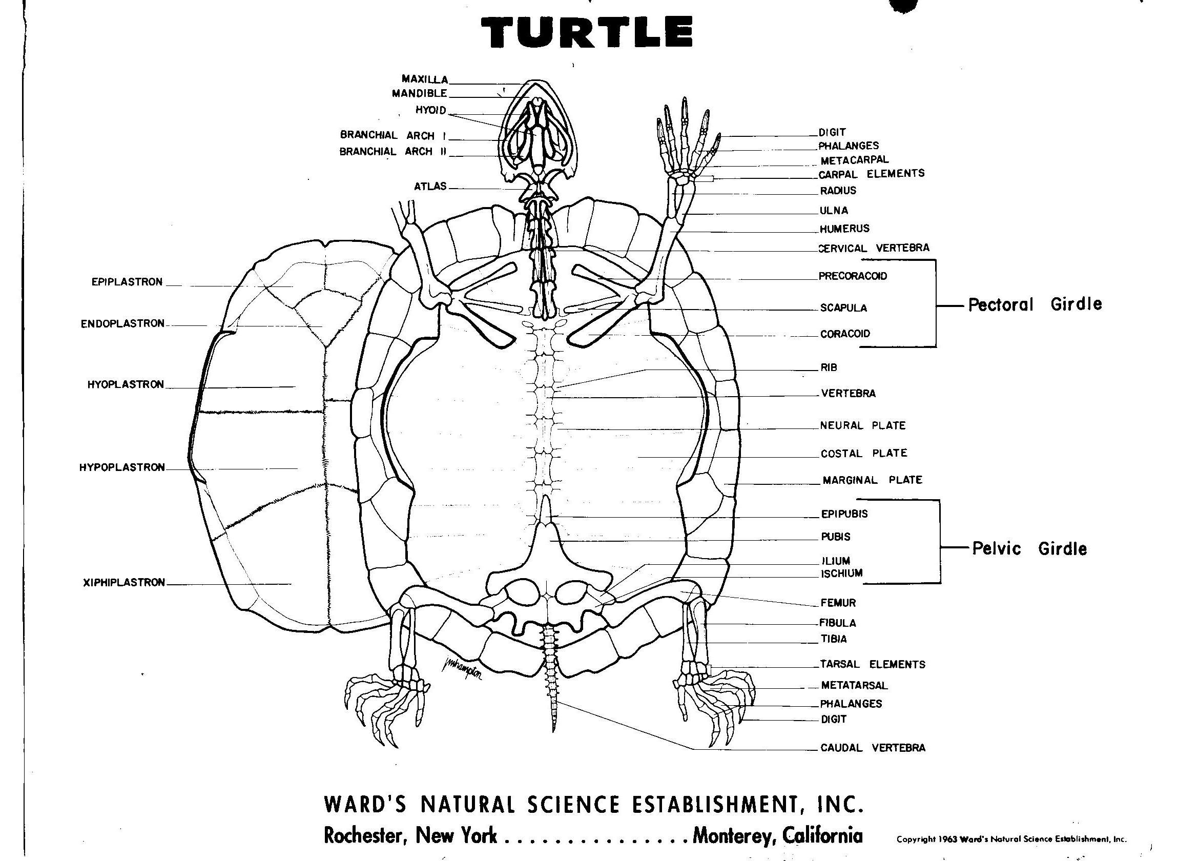 Turtle skeleton | Maya: Hidden Worlds Revealed | Pinterest ...