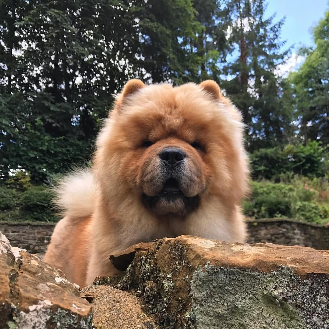 Chow Chow Doginformation Chowchowpuppylion Chow Chow Puppy