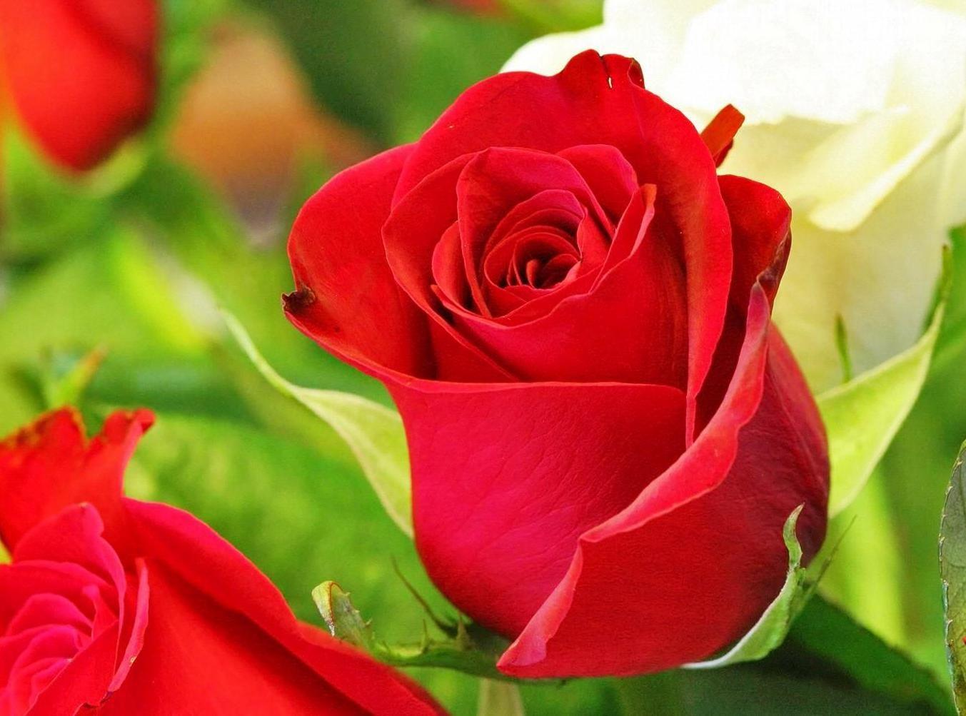 6 Gambar Bunga Mawar Cantik Cocok Untuk Wallpaper Gambar Animasi Images Wallpapers