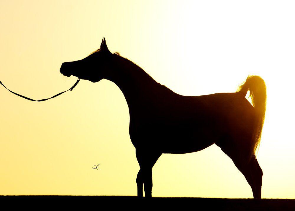 هل منظمو بطولات جمال الخيل العربية لهم تأثير على النتائج Arabian Horse Horses Arabians