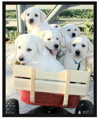 white blonde yellow lab pups litter Labrador Puppies
