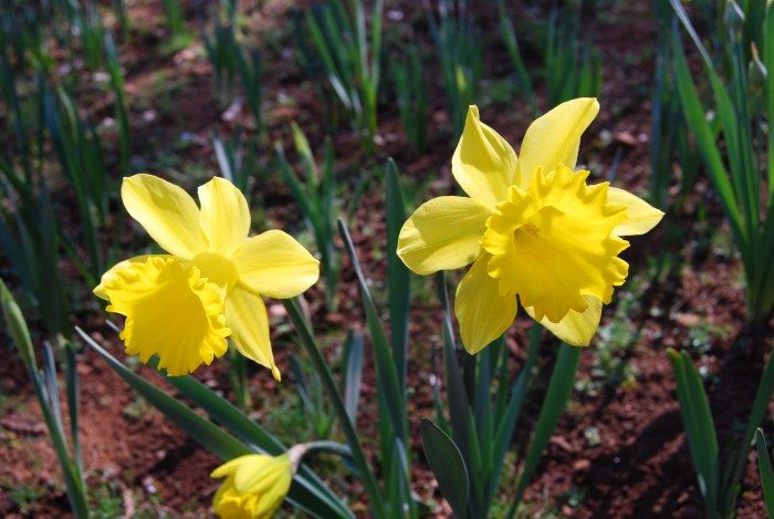 Tips To Help You Grow Your Own Daffodils In The Garden Blog Nurserylive Com Gardening In India In 2020 Daffodils Daffodil Flower Gardening Blog
