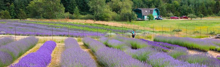 Pelindaba Lavender Farms - San Juan Island  Where we get our organic
