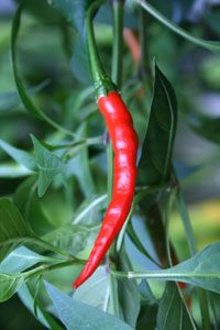 Thai dragon Scoville Units 50,000 - 100,000  | Hot Peppers