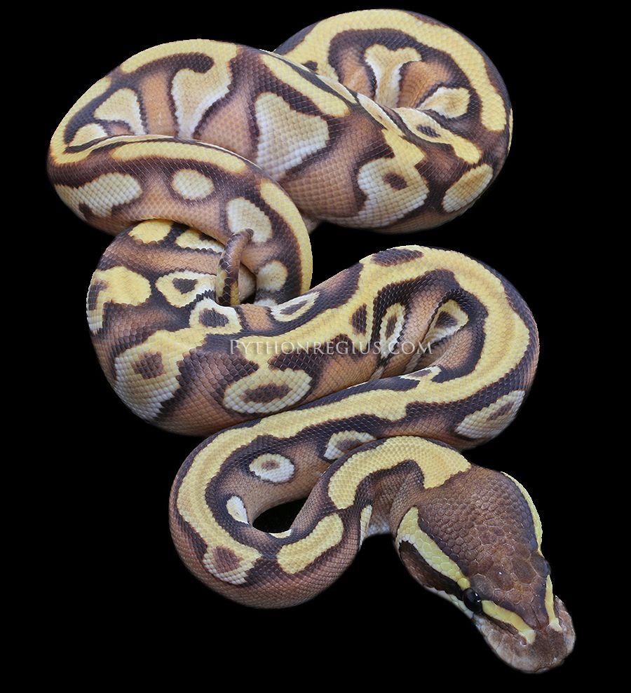 Enchi Mojave Ball Python | Reptiles | Pinterest | Ideas de tatuajes ...