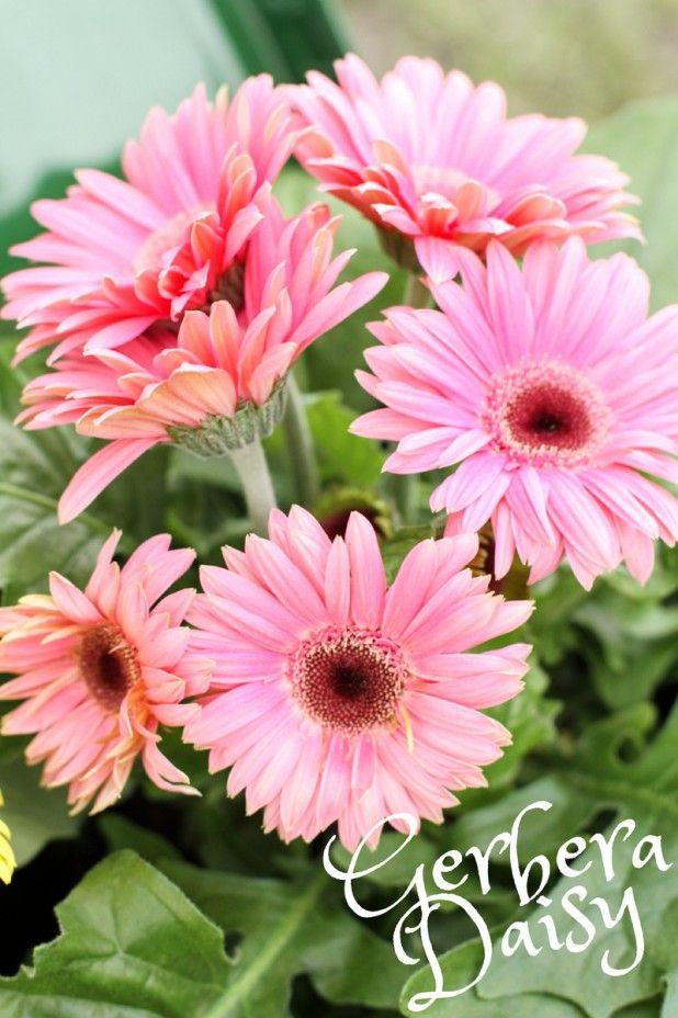 Gerbera Daisies And The Boys I Love Creative Cain Cabin Gerbera Daisy Gerbera Garden Flower Beds