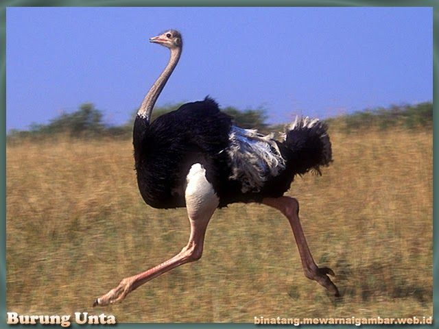 gambar burung unta  Nama Binatang  Avestruces Aves