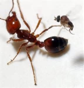 Fire Ant and Zombie Fly - Bing Images | Ants Fire ants ...