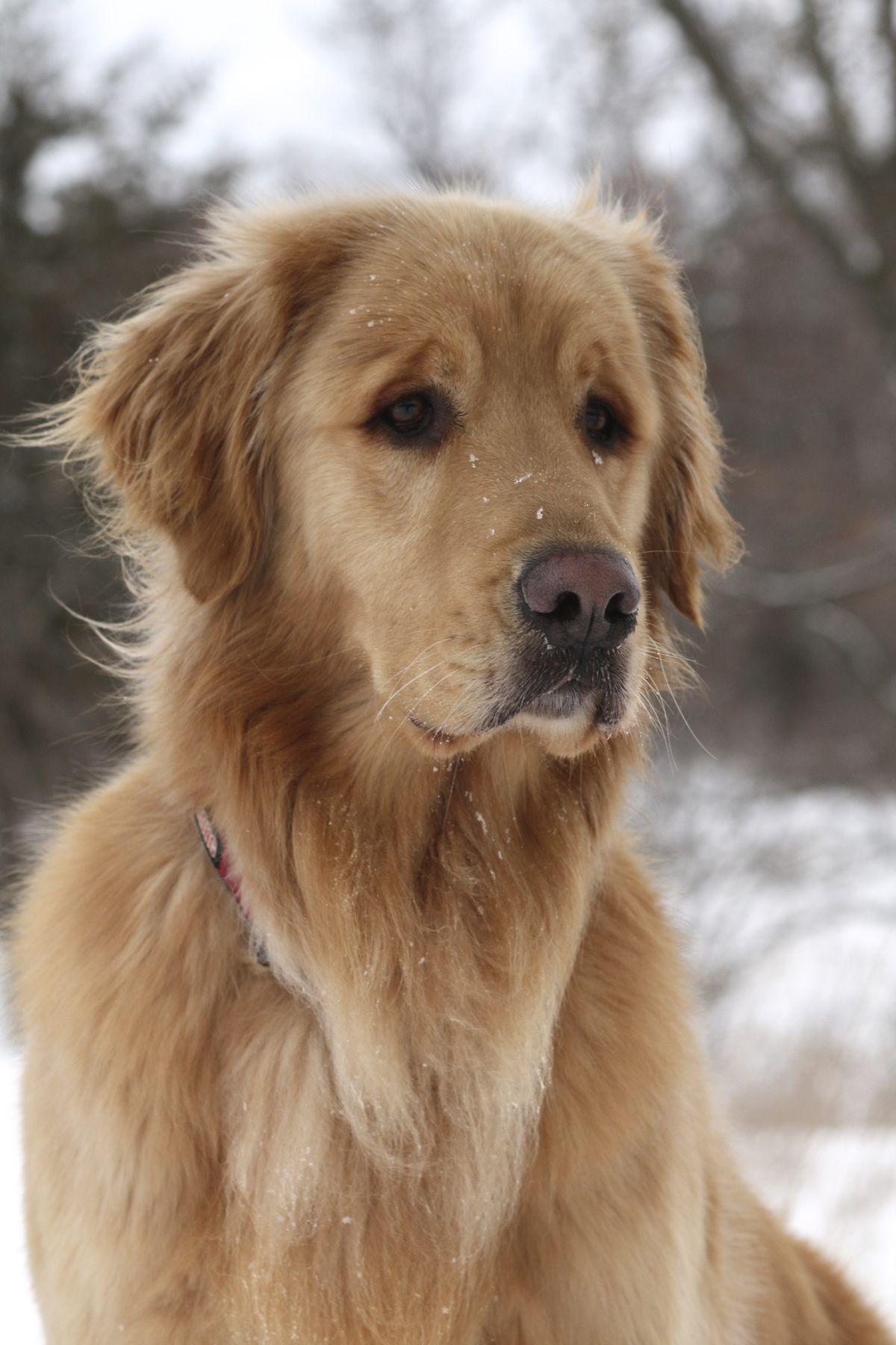 how to groom a golden retriever puppy
