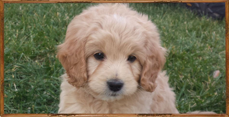Adorable English Mini Teddy Bear Goldendoodle Puppy Kleine