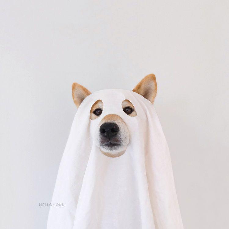 Shiba Inu Hoku dressed up to have a ghostly good time. | Shiba Inu on