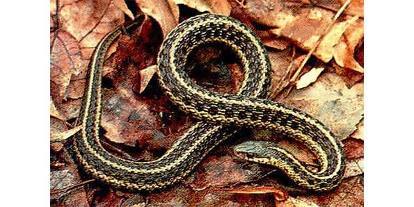 Top 10 Species Of Snakes That Are Non Poisonous Snake Poisonous Snakes Species