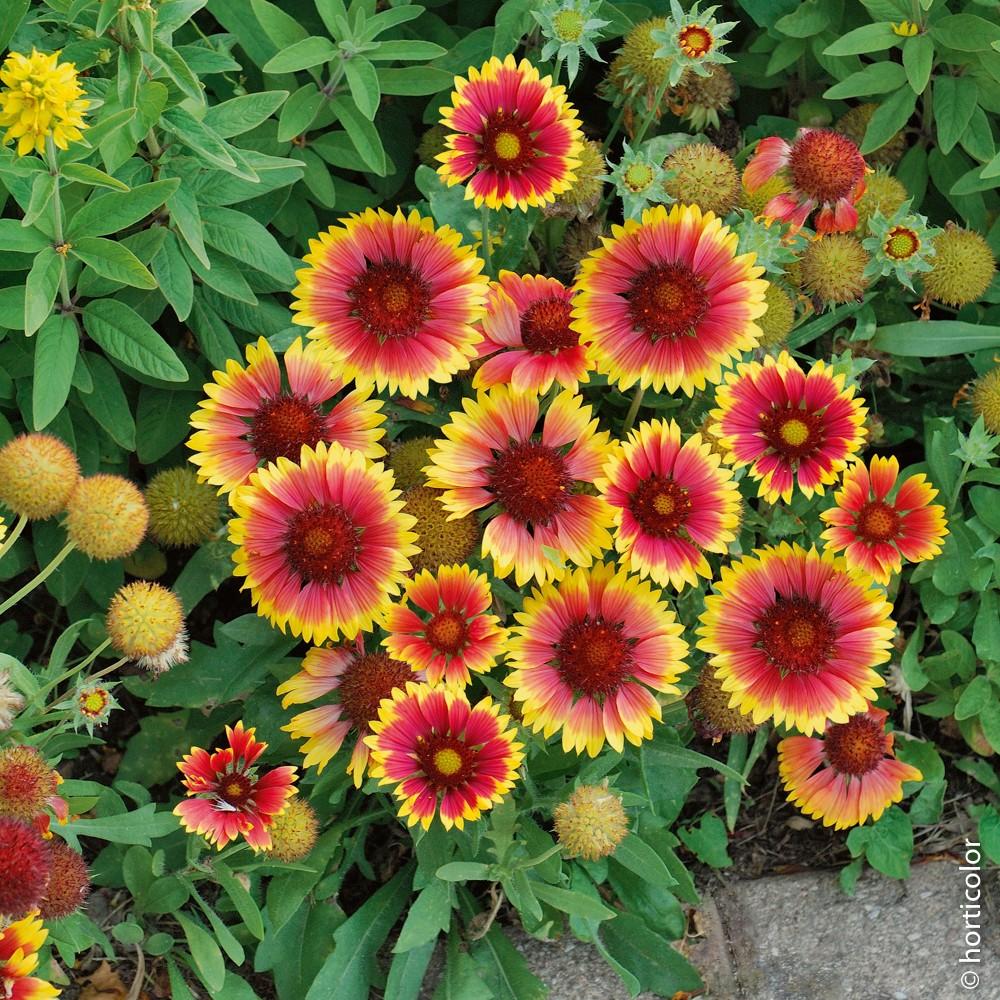 Tutti I Tipi Di Fiori.Gaillardia Kobold With Images Perennial Plants Chrysanthemum