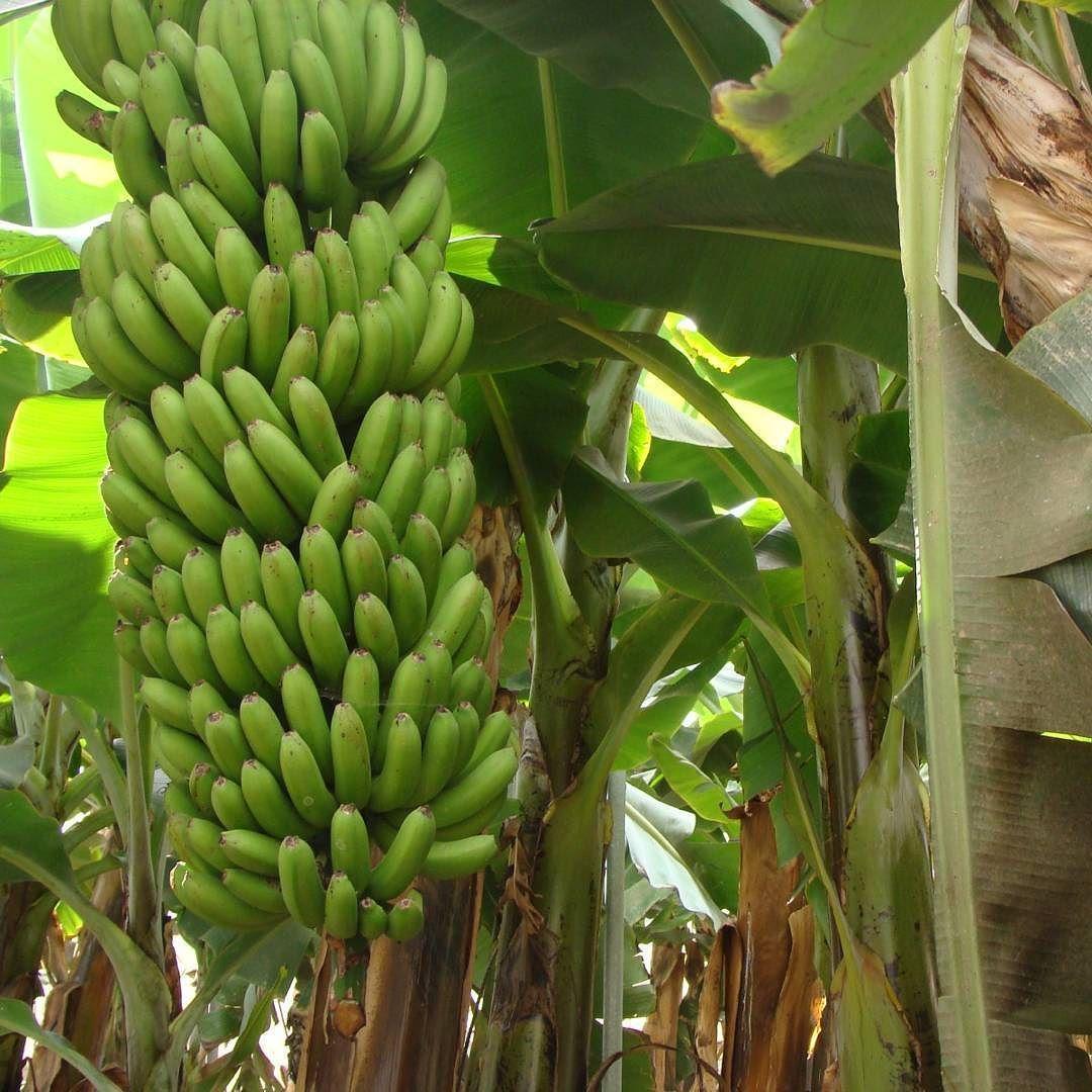 Small Of Blue Java Banana