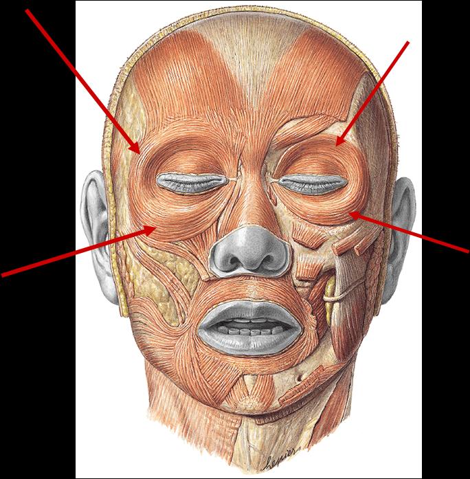 Anatomía Humana: Músculos de la cabeza   ANATOMIA   Pinterest ...