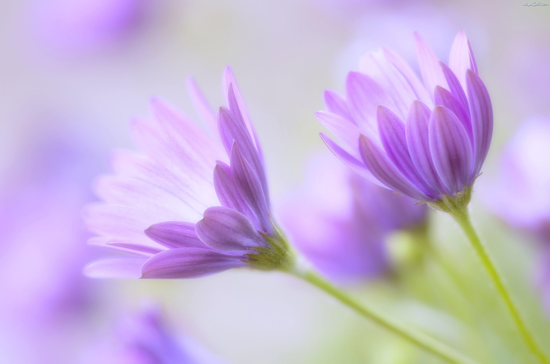 Znalezione Obrazy Dla Zapytania Tapety Kwiaty Fioletowe Pastel Flowers Flower Photos Flower Pictures